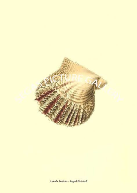Fine art print of the Avicula Radiata - Rayed Birdshell by the artist Frederick Polydore Nodder